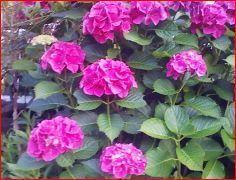 赤紫アジサイ.JPG